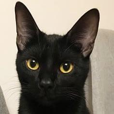 chat noir yeux jaunes - absolument chats