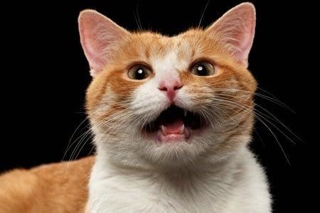 mon chat miaule toute la nuit