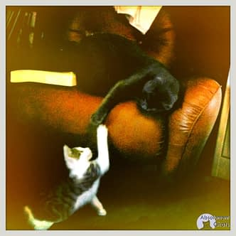 Adopter un chaton ou un chat adulte ? - Absolument Chats