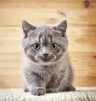 adopter un chat de race ou un chat de gouttière