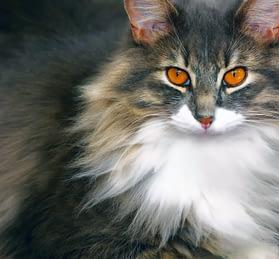 chat de gouttière à poils longs