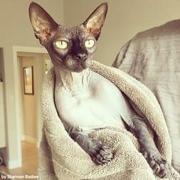 le chat de race sphynx a besoin de bains réguliers