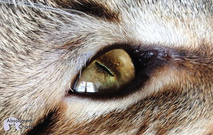 oeil chat_ comment voit mon chat ? Absolument Chats