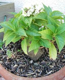 copeaux de bois-proteger ses plantes et semis des chats- Absolument Chats